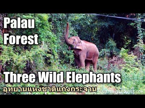 Three Wild Elephants in Palau Forest อุทยานแห่งชาติแก่งกระจาน