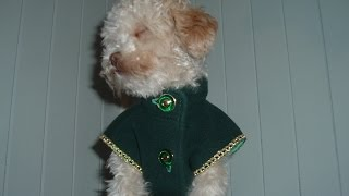 An Emerald Coat For A Little Toy Poodle