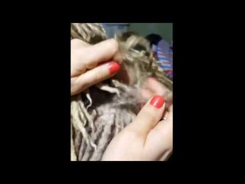 Spanish Water Dog: splitting cords