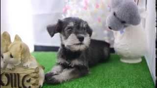 2014/5/1生まれのミニチュアシュナウザーの子犬の動画になります。 この...