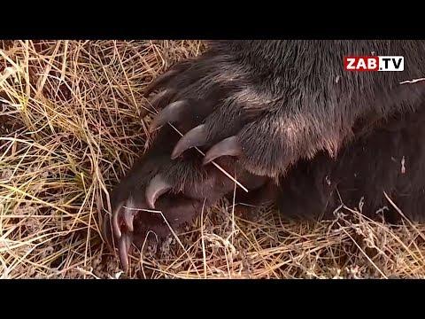 Голодные медведи будут продолжать выходить в населённые пункты Забайкалья