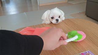 딸기장난감에 미친 강아지