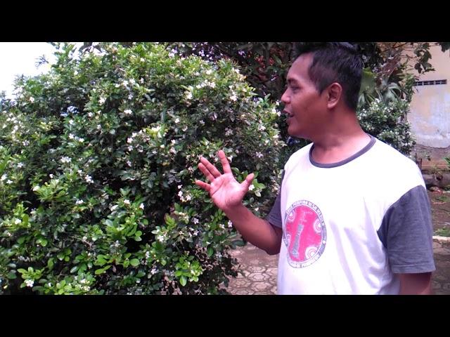 Manfaat pohon kemuning
