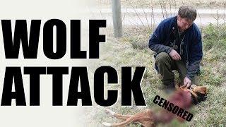 Fieldsports Britain - Wolf Attack (episode 236)