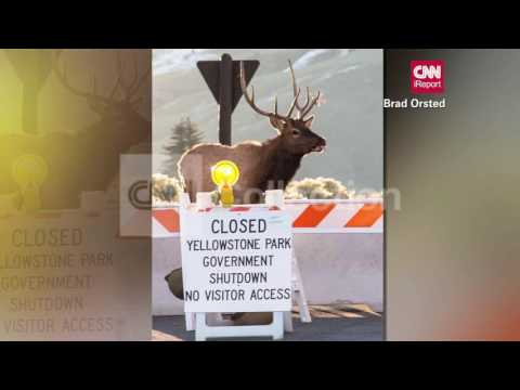 WY:ELK NOT COOL W YELLOWSTONE CLOSING (FUNNY!)