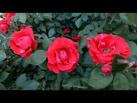 Футаж Красные Розы. Футаж Цветы. Красивые Цветы Красные Розы. Видеофутажи. Футажи для видеомонтажа