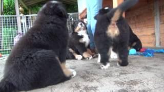 Swizzy Bears - een passie voor Berner Sennenhonden