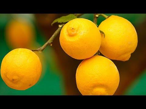 Выращивание лимона в теплице как бизнес идея