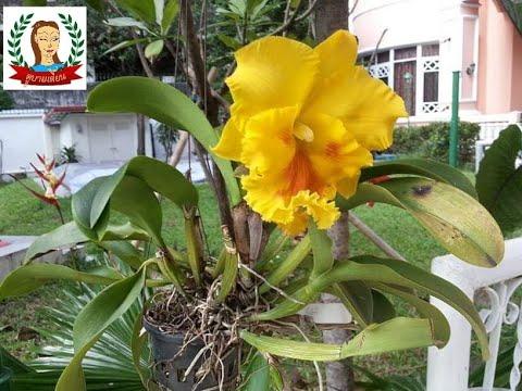 EP 6.วิธีขยายพันธุ์กล้วยไม้แคทลียา  - จิ๊บ ดูบายเดี๊ยน Dobydiean