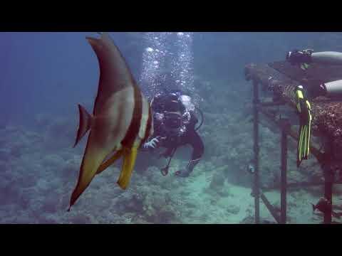 scuba diving Red Sea - banner fish