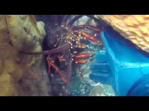 Tasmania: The Land of the Monster Crayfish