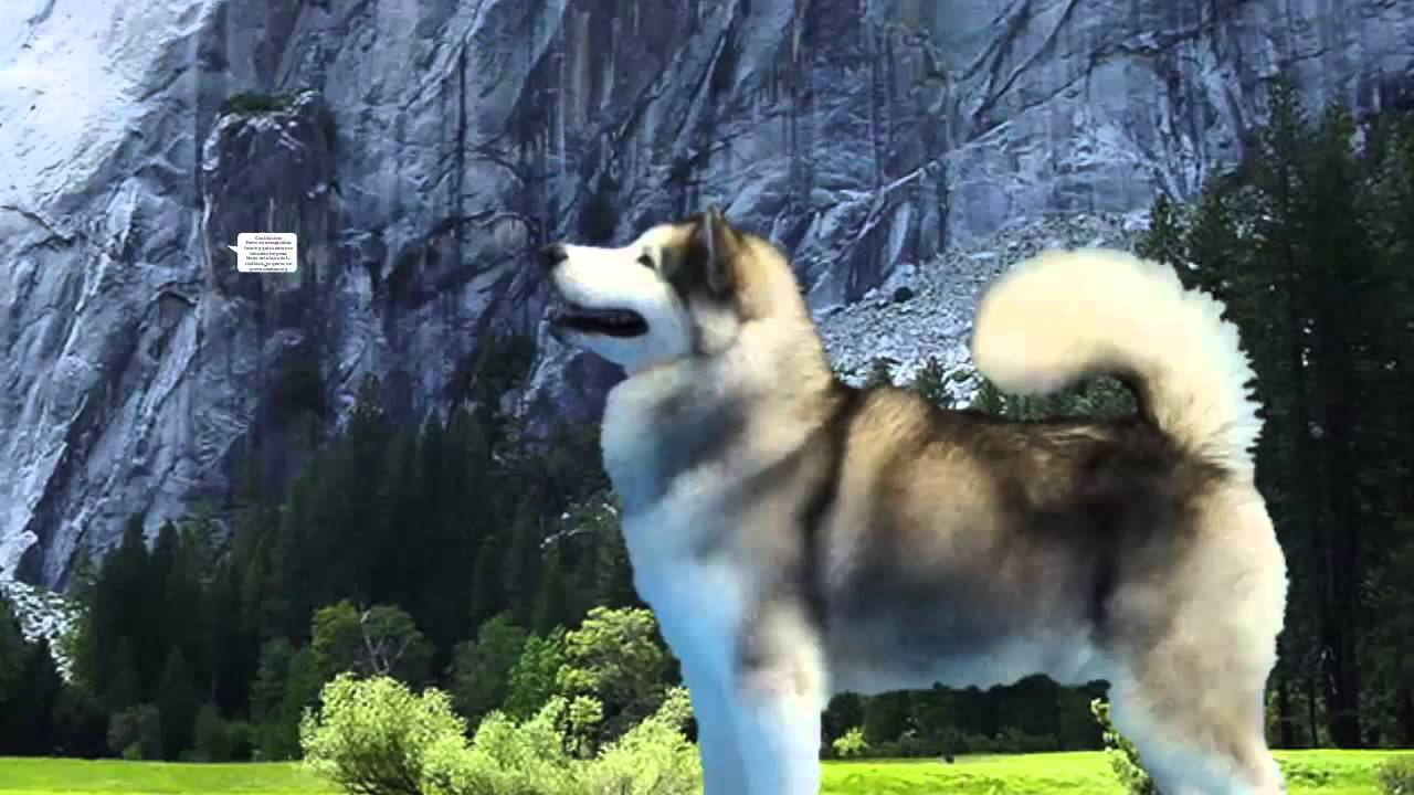 Razas de Perros Malamute de Alaskao Alaskan Malamute  YouTube