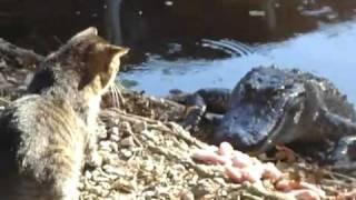 Кот против кракодила, борьба за кусок мяса