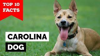 Carolina Dog  Top 10 Facts