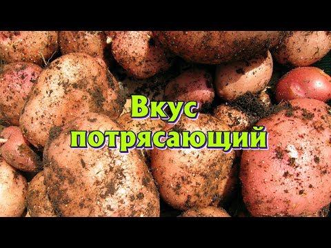 Лучшие самые урожайный раннеспелые сорта картошки для подмосковья и средней полосы России. | раннеспелые | подмосковья | урожайный | урожайные | картофеля | картошки | средней | россии | полосы | лучшие