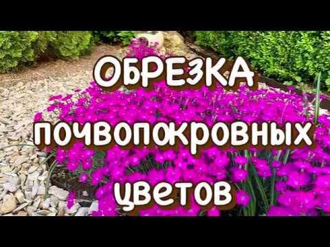 Обрезка почвопокровных цветов. Ясколка Флокс шиловидный Гвоздика альпийская