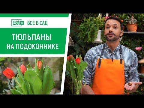 Как вырастить тюльпаны в домашних условиях   Все в сад