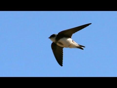 Sand Martin  Bird Call BIRDSONG