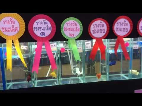 Betta Competition Show in Thailand 2016