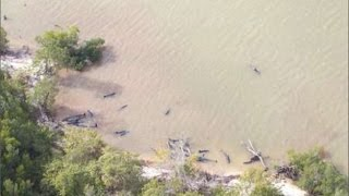 真っ黒なイルカ 82匹が謎の大量死 アメリカ フロリダ州 これは震災の前...