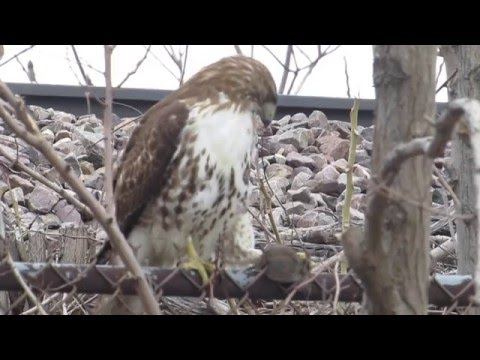 Hawk with Freshly Caught Rat in Chicago