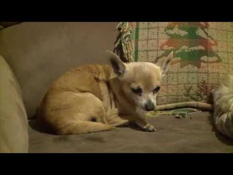 poncho-the-chihuahua-saves-cooke-co.-man-from-burning-home