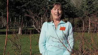 OSU Master Gardeners: Pruning Blueberry Plants