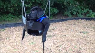 Lab puppy in a baby swing