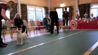 Southern Miniature Bull Terrier Club Open Bitch March 2015