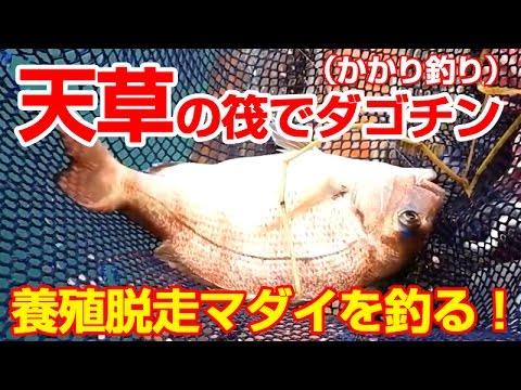 天草の筏 ダゴチンかかり釣りで鯛が釣れた I caught a red snapper
