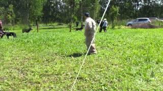 Дрессировка в Торжке, молодые собаки...