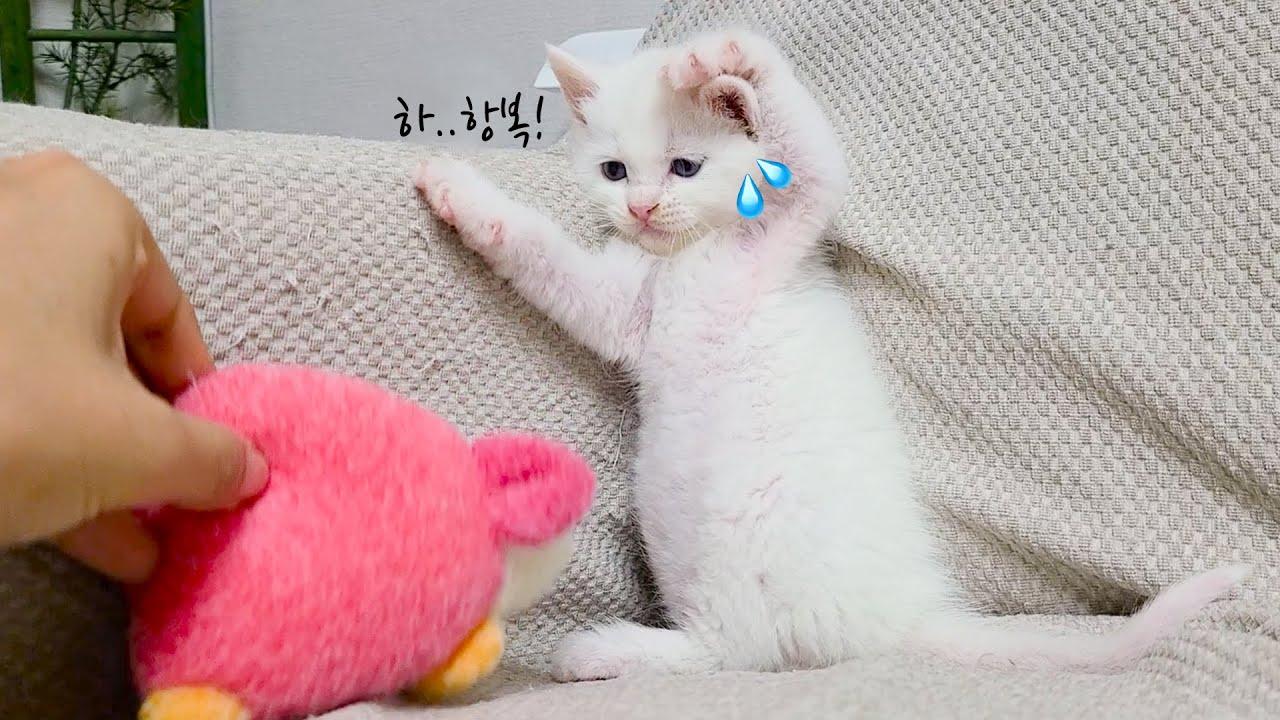 합사 부작용.. 아기 고양이가 애착 인형을 너무 무서워해요
