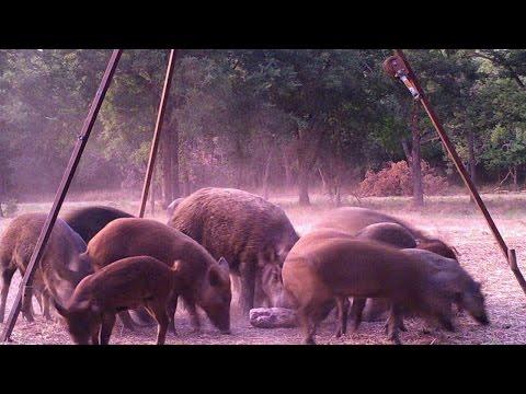 HUGE Oklahoma Wild Hog