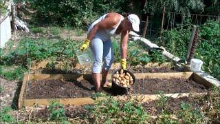144). Урожай Картошки под Мульчей #2. Горчица как Сидерат Посеяна (03.08.17)
