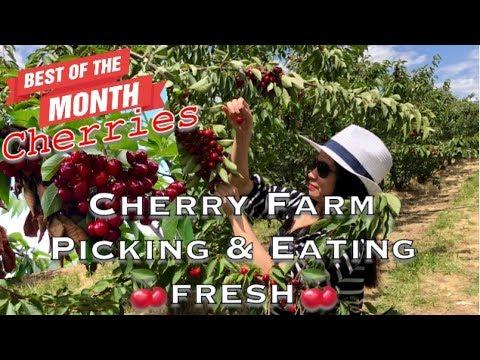 CHERRY SEASON | Cherry Farm | Cherry Picking & Eating