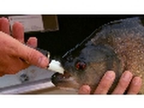 Piranha Bite Force | National Geographic