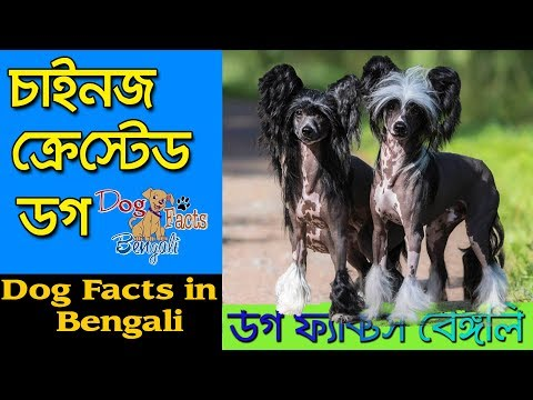 Chinese Crested Dog facts in Bengali | Rare Dog Breed | Dog Facts Bengali