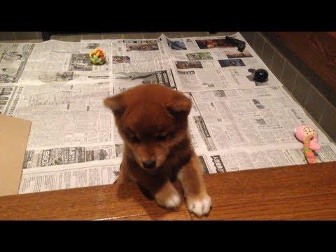家の中に入りたいけど入れない柴犬の子犬 Amazing shiba