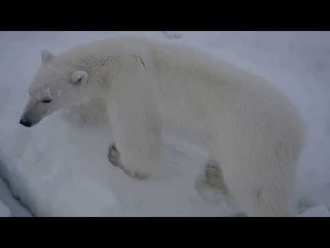Close encounter with a polar bear in the Barents Sea, part 2