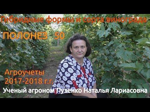 Виноград Полонез 50- подробное описание (участок Пузенко Натальи Лариасовны)