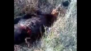 Repeat youtube video κυνήγι αγριόχοιρου αντώνης
