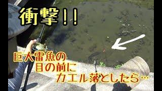 【雷魚釣り】新規開拓成功!!雷魚が入れ食いになる用水路を発見した!
