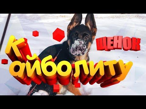 Щенку три месяца и мы идём к Айболиту на прививку Моя собака Немецкая овчарка