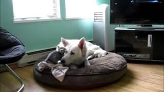 Sleepy Dog Annoyed By Adorable Kitten!