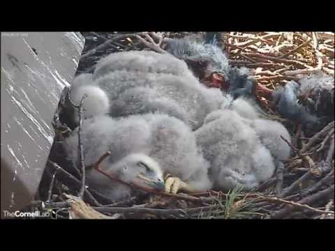 CornellRTHA Cam  'A Puddle of Big Feet & Pinfeather Cushions!'  2;48 pm  _5.14.14_
