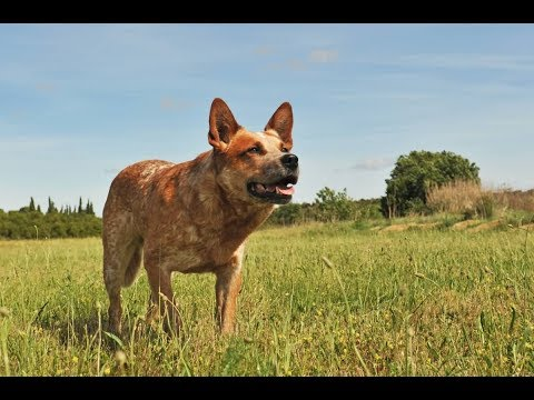 Australian Cattle Dog - beautiful , intelligent and active