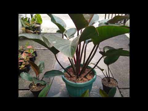 for-sale-bibit-philodendron-rojo-/-red-congo