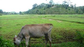 Sri Lanka,ශ්‍රී ලංකා,Ceylon,Cow with Rice Field,Kuh,Vache,Risiere,Reisfeld