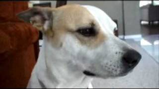 Testing The Dog's Hearing