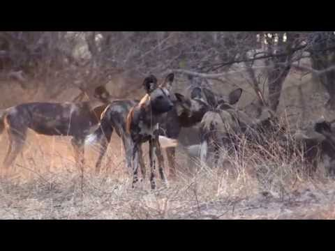 Hunting with the Wild Dogs of Mana Pools
